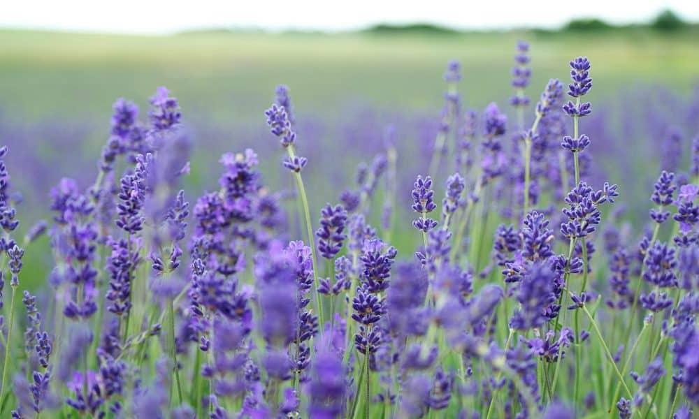 15 Essential Accessories to Pull off Lavender Themed Weddings
